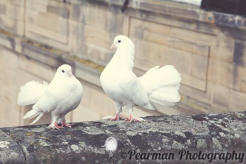 Doves, Love Birds, Pearman Photography, Paige Rowland, Anthony Battista, Vintage Wedding, Kirkley Hall, Pink and White Colour Theme, Country Theme